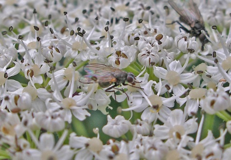 insects-pollinating-cow-parsnip
