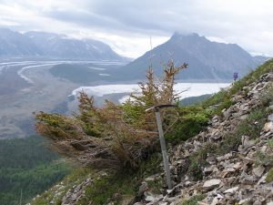 Krumholtz spruce on Porphyry Mountain, Wrangell Mountains, Alaska